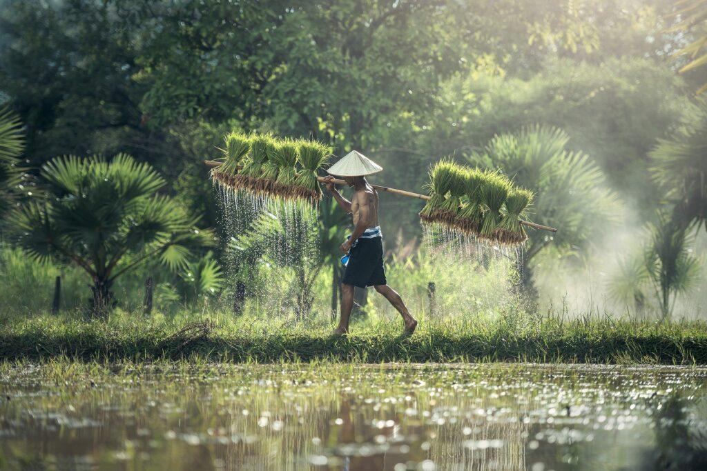 Reisbauer beim Ernten von Reis in Thailand